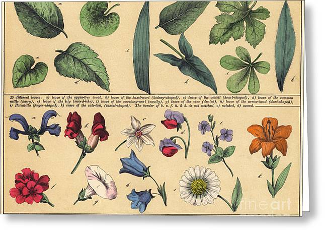 Vintage Botanical Print Showing Variety Of Leaves And Flowers Greeting Card