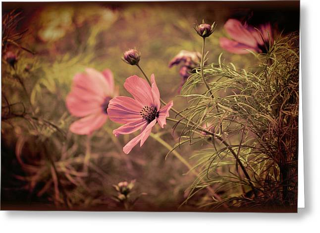 Greeting Card featuring the photograph Vintage Cosmos by Douglas MooreZart