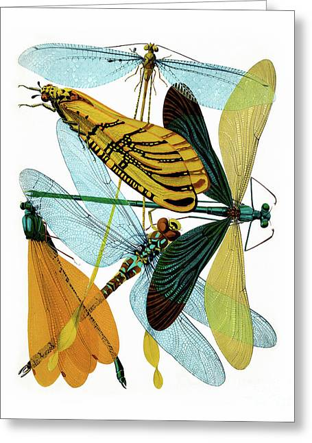 Vintage Dragonflies, Damselflies Etomology Illustration Greeting Card by Tina Lavoie