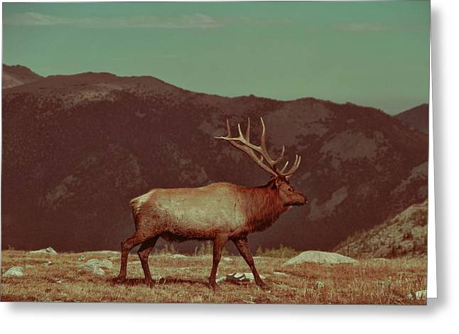 Vintage Elk On Trail Ridge Road Greeting Card by Dan Sproul