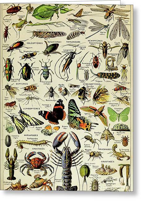 Vintage Illustration Of Various Invertebrates Greeting Card