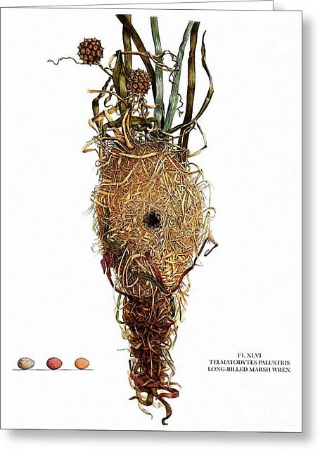 Vintage Nature, Long Billed Marsh Wren Nest, Eggs Greeting Card by Tina Lavoie