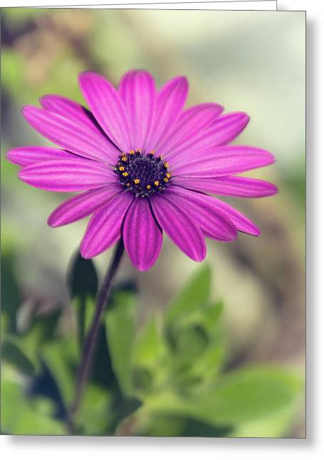 Greeting Card featuring the photograph Vintage Purple Daisy  by Saija Lehtonen