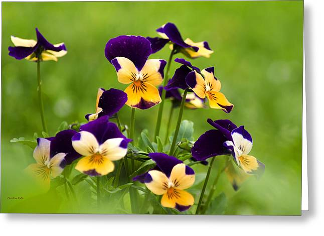 Viola Flowers Greeting Card by Christina Rollo