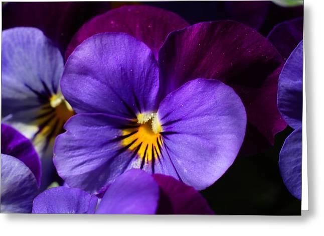 Violas 1 Greeting Card by Kathryn Meyer