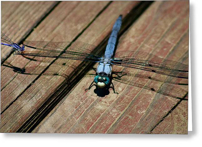 Dragonflies Greeting Cards - Violet Dancer on a Great Blue Skimmer Greeting Card by Susan Isakson