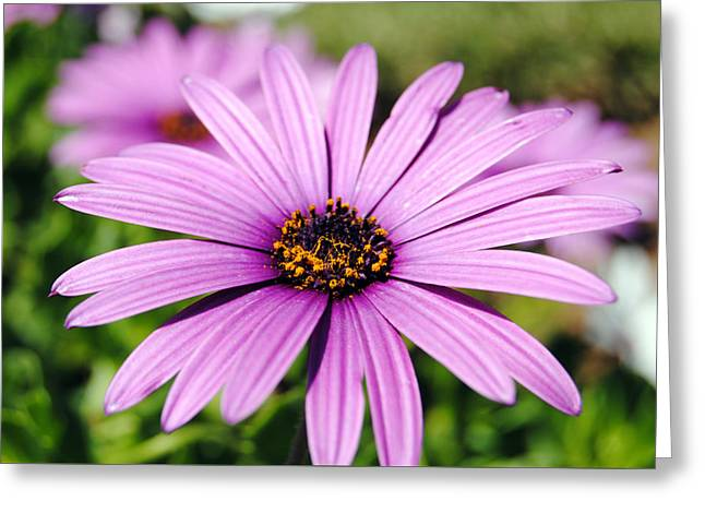 The African Daisy 1 Greeting Card
