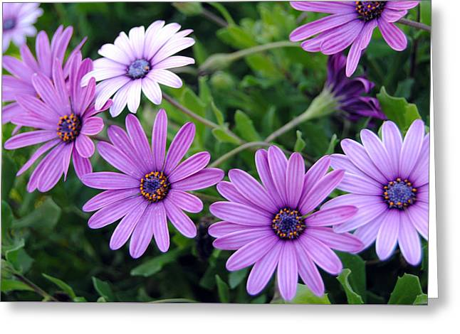 The African Daisy Flowers Greeting Card