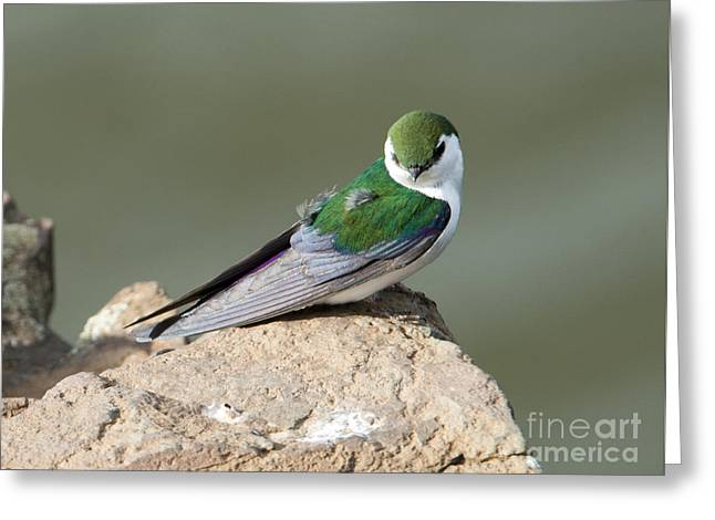 Violet-green Swallow Greeting Card by Mike Dawson
