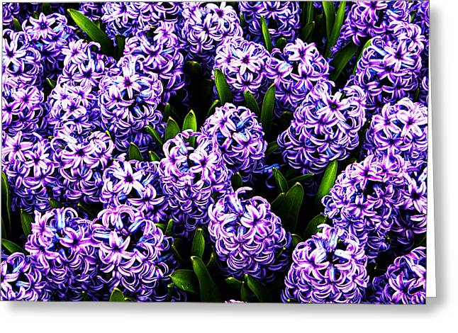 Violet Hyacinth Greeting Card