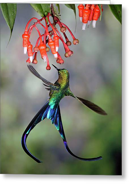 Coelestis Greeting Cards - Violet-tailed Sylph Feeding Greeting Card by Michael and Patricia Fogden