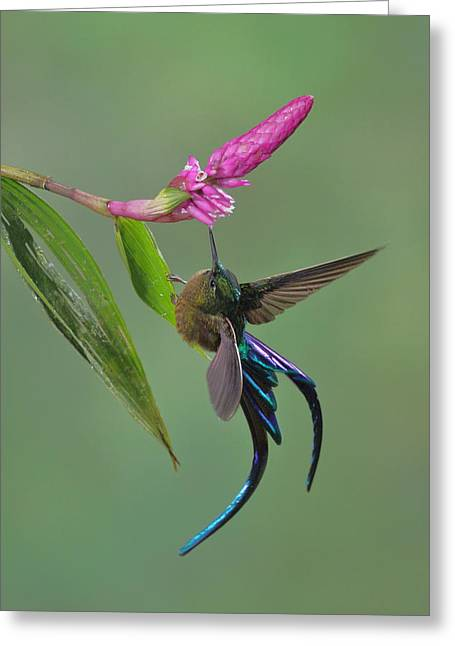 Violet-tailed Sylph In Ecuador Greeting Card