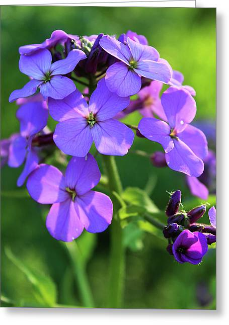 Greeting Card featuring the photograph Purple Flower by Melinda Blackman