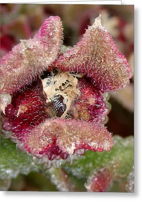 Vivacity 5 - Tenerife Ice Plant - Mesembryanthemum Crystallinum Greeting Card