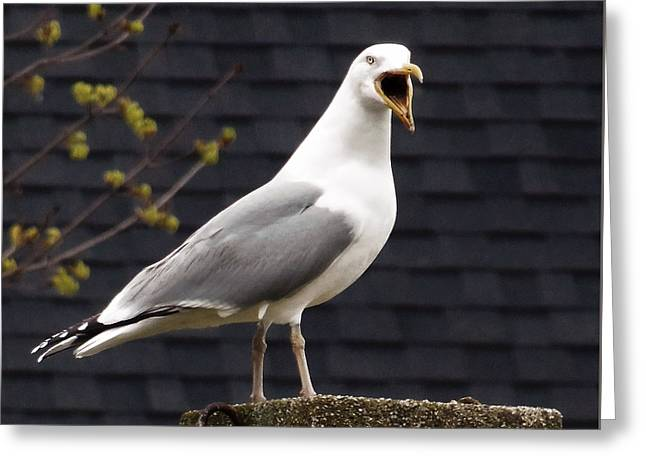 Vocal Seagull Greeting Card