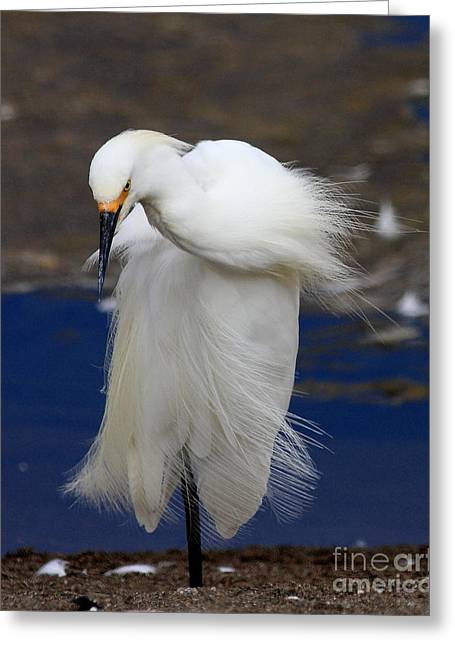 Egret Greeting Cards - Vogue Greeting Card by Wingsdomain Art and Photography
