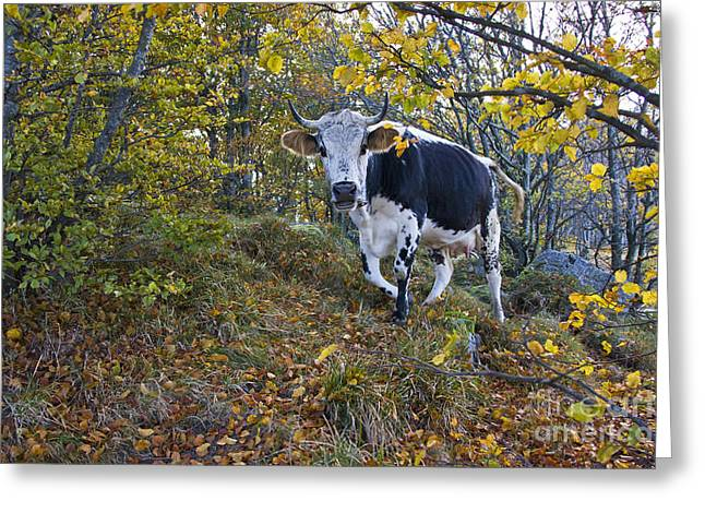 Vosges Cow In A Beech Forest Greeting Card by Jean-Louis Klein & Marie-Luce Hubert