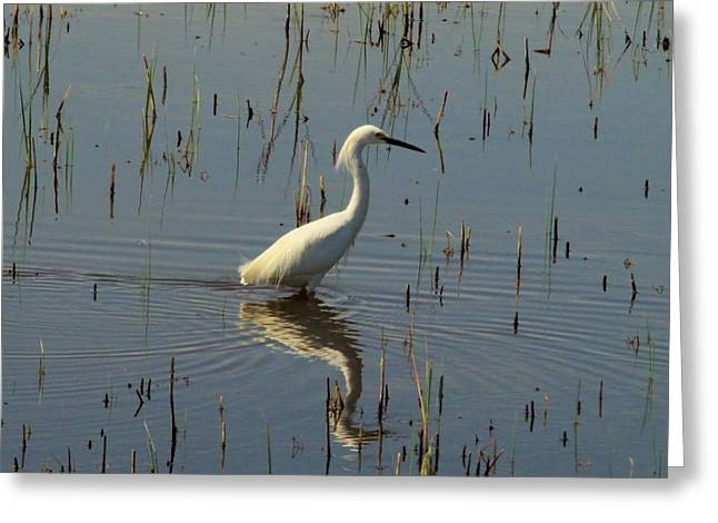 Wading Egret Greeting Card by Jeff Swan