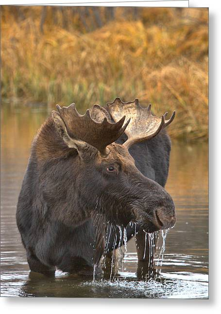 Wading In The Teton Wetlands Greeting Card