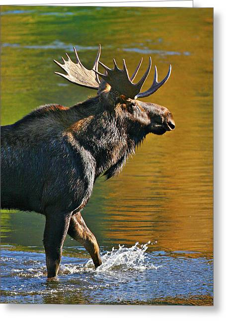 Greeting Card featuring the photograph Wading Moose by Wesley Aston