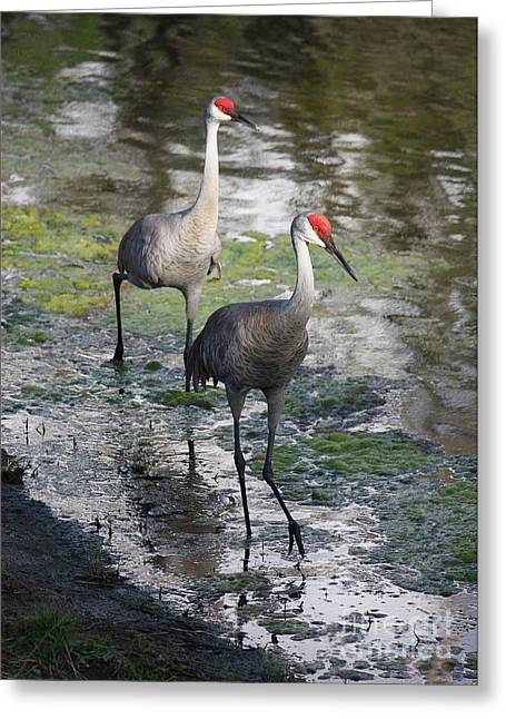 Sandhill Crane Greeting Cards - Wading Sandhills Greeting Card by Carol Groenen