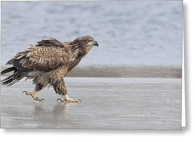 Walk Like An Eagle Greeting Card by Kelly Marquardt