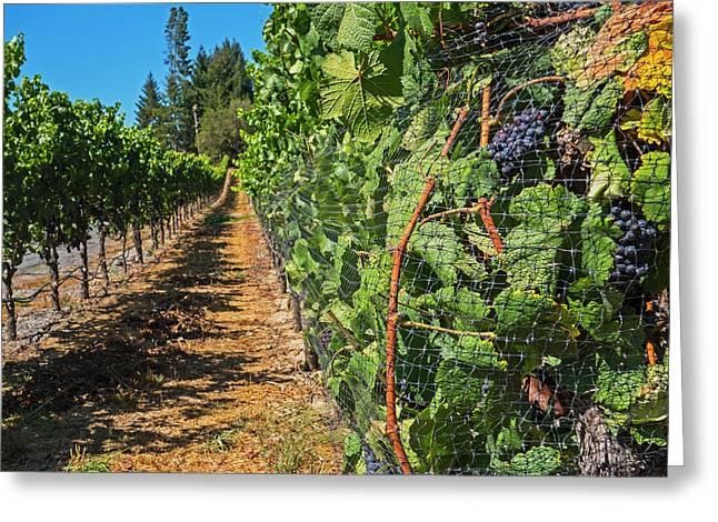 Walking Down The Vineyard Sebastopol Ca Greeting Card by Toby McGuire
