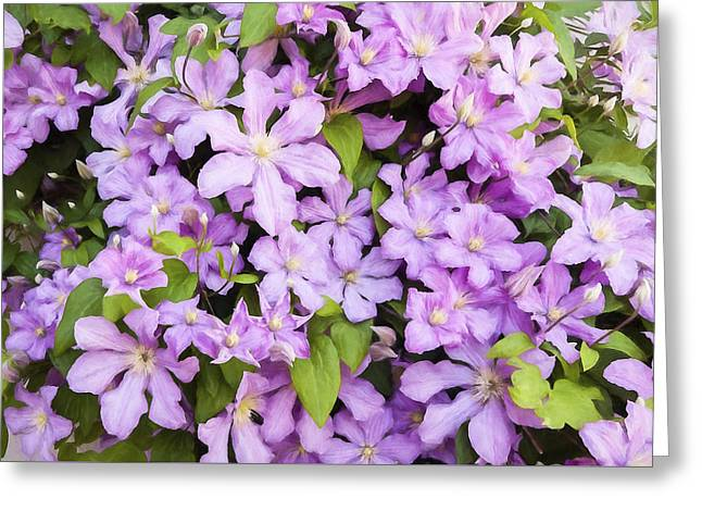 Wall Of Pink Clematis Blooms - Digitally Enhanced Greeting Card