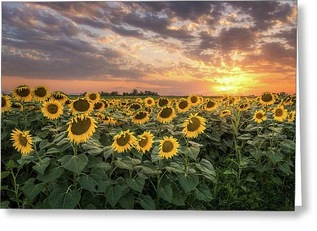 Wall Of Sunflowers Greeting Card