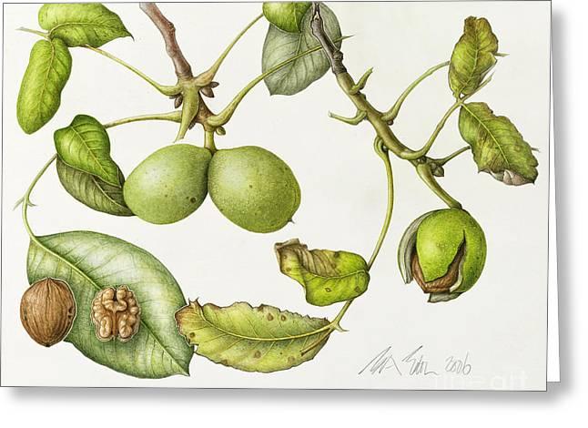 Walnut Greeting Card by Margaret Ann Eden