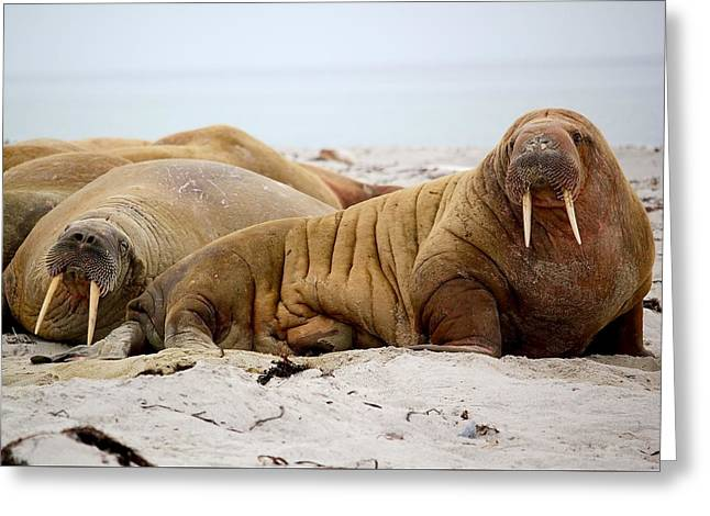Walrus Family Greeting Card by Happy Home Artistry