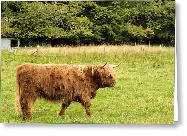 Greeting Card featuring the photograph Wandering Coo by Christi Kraft