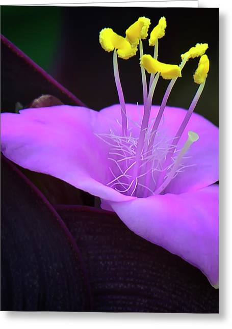 Clarity Greeting Cards - Wandering Jew Greeting Card by Michael Putnam