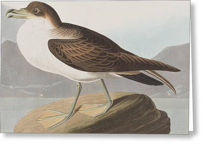 Wandering Shearwater Greeting Card