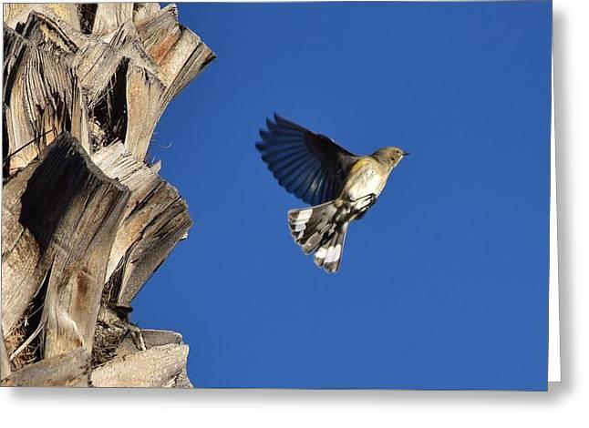 Warbler In Flight Greeting Card by Linda Brody