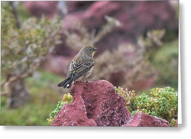 Warbler On A Red Rock Greeting Card by Linda Brody