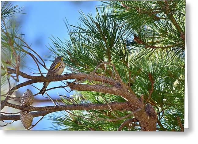 Warbler Sitting In Pine Tree Greeting Card by Linda Brody