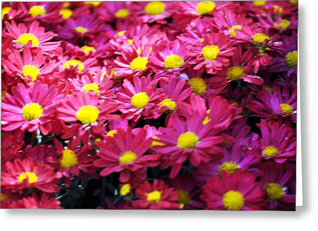 Asters Greeting Cards - Warm Fuzzy Feeling Aster flowers Greeting Card by Debra  Miller