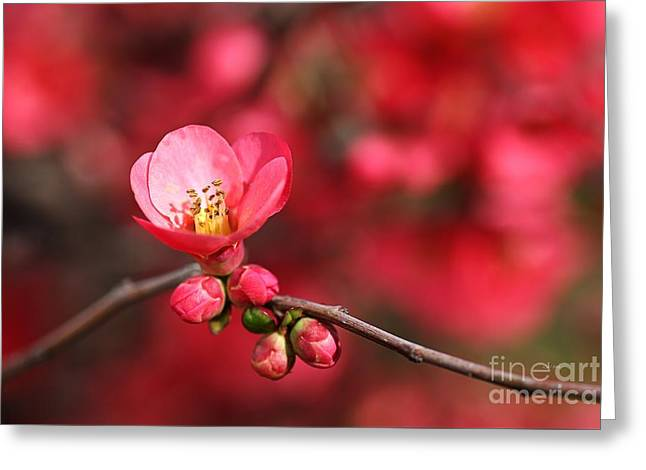 Warmth Of Flowering Quince Greeting Card