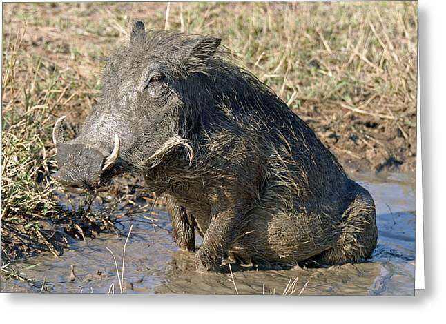Greeting Card featuring the photograph Warthog Taking Mud Bath by Riana Van Staden
