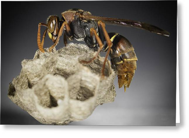 Wasp On A Nest Greeting Card