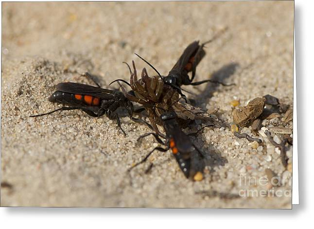 Wasps With Spider Greeting Card by Steen Drozd Lund