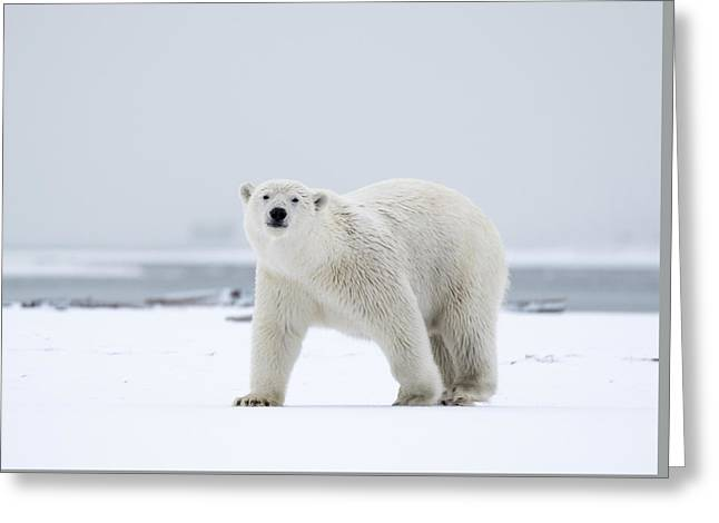 Watchful In The Arctic Greeting Card