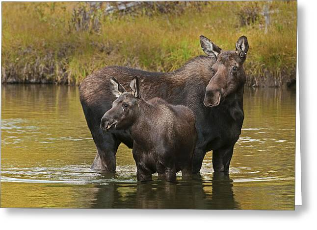 Watchful Moose Greeting Card