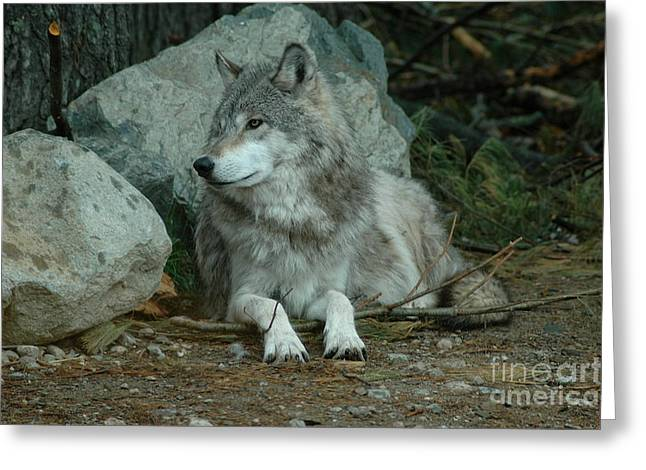 Watchful Wolf Greeting Card by Sandra Updyke