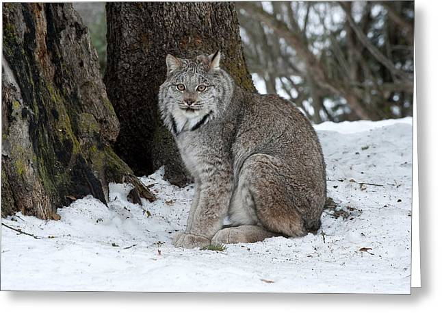 Lynx Greeting Cards - Watching Me Watch You Greeting Card by Sandra Bronstein