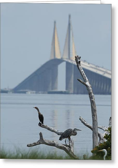 Water Birds On Tampa Bay Greeting Card by Carl Purcell