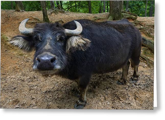 Water Buffalo On Dry Land Greeting Card
