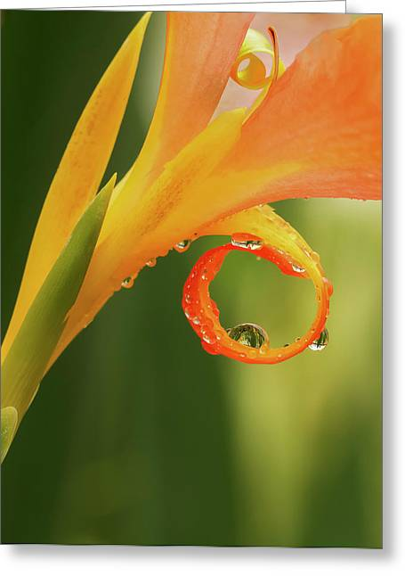 Water Drops On Canna Curl Greeting Card by Jean Noren