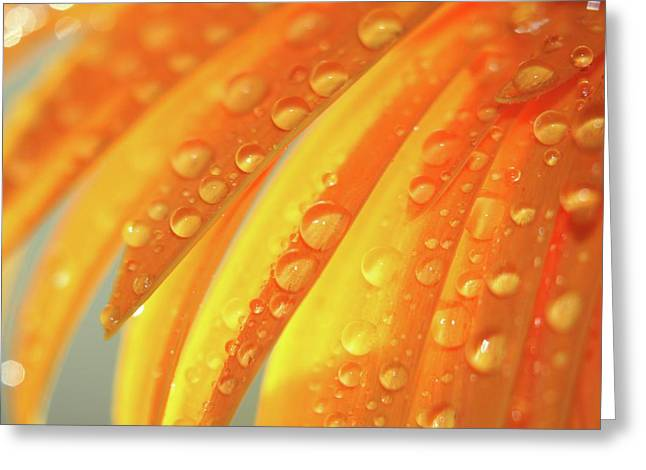 Water Drops On Daisy Petals Greeting Card by Daphne Sampson
